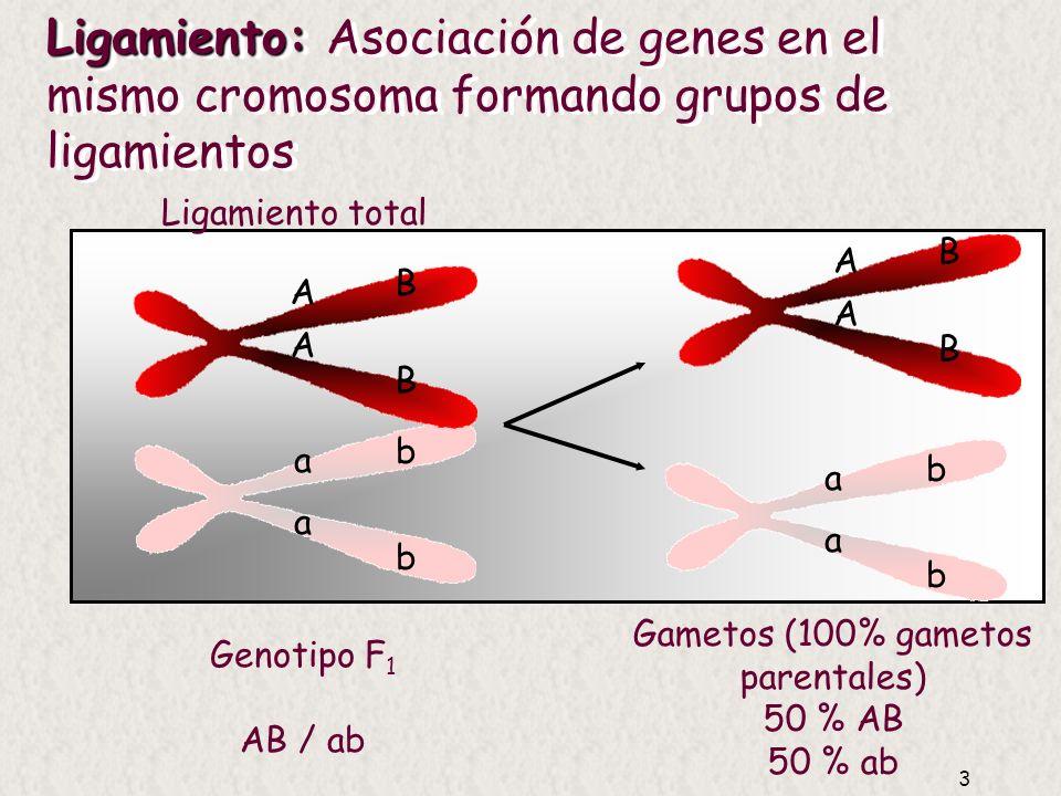 3 Ligamiento: Ligamiento: Asociación de genes en el mismo cromosoma formando grupos de ligamientos Ligamiento total A A a a B B b b a a b b A A B B Genotipo F 1 AB / ab Gametos (100% gametos parentales) 50 % AB 50 % ab