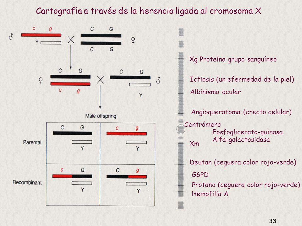 32 Cartografía en humanos Mapas genéticos (de recombinación) Estudios familias Herencia ligada al cromosoma X marcadores clásicos Autosómicos marcador
