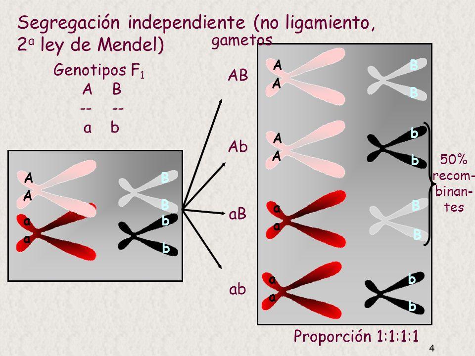 4 Segregación independiente (no ligamiento, 2 a ley de Mendel) A A a a B B b b A A B B A A b b a a B a a b b B Genotipos F 1 A B -- a b AB Ab aB ab gametos 50% recom- binan- tes Proporción 1:1:1:1