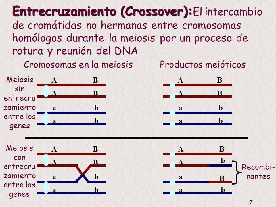 7 Entrecruzamiento (Crossover): Entrecruzamiento (Crossover): El intercambio de cromátidas no hermanas entre cromosomas homólogos durante la meiosis por un proceso de rotura y reunión del DNA A A a a A A a a B B b b A A a a B B b b B B b b A A a a B B b b Cromosomas en la meiosis Productos meióticos Recombi- nantes Meiosis con entrecru zamiento entre los genes Meiosis sin entrecru zamiento entre los genes