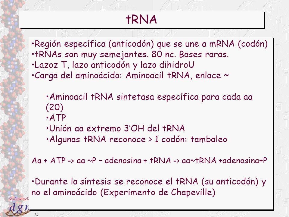 13 Dr. Antonio Barbadilla tRNA Región específica (anticodón) que se une a mRNA (codón) tRNAs son muy semejantes. 80 nc. Bases raras. Lazoz T, lazo ant