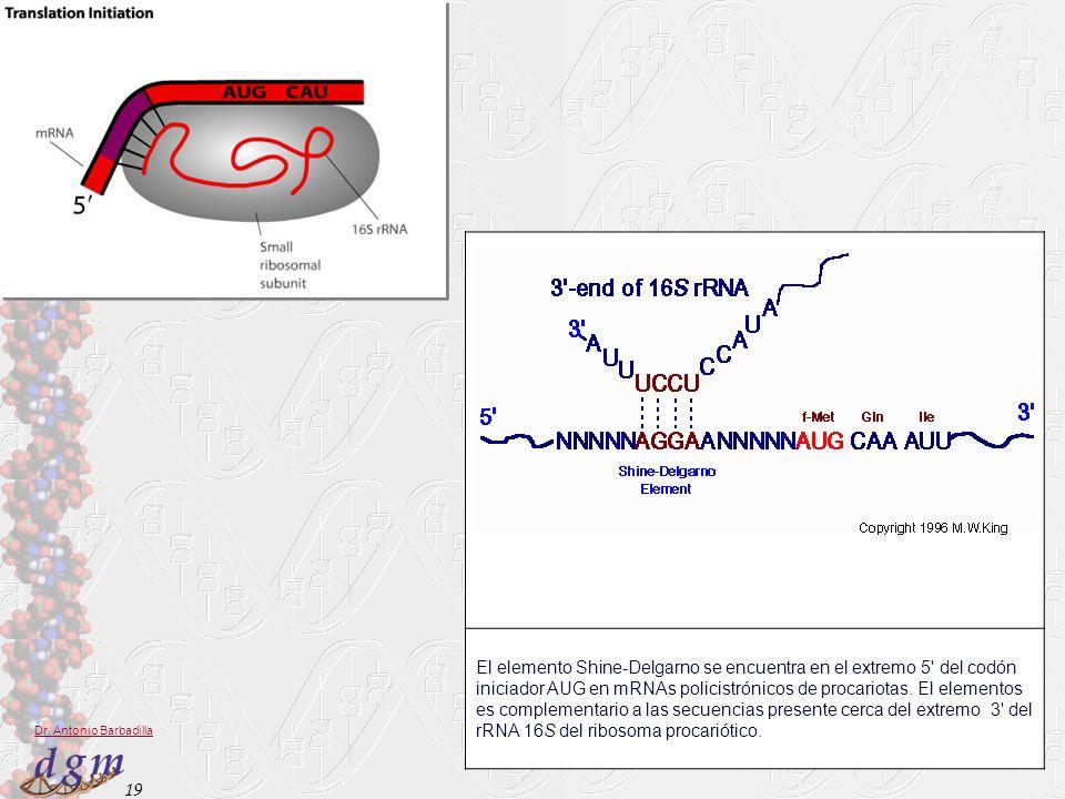 19 Dr. Antonio Barbadilla El elemento Shine-Delgarno se encuentra en el extremo 5' del codón iniciador AUG en mRNAs policistrónicos de procariotas. El