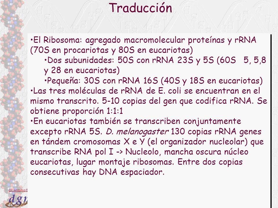 9 Dr. Antonio Barbadilla Traducción El Ribosoma: agregado macromolecular proteínas y rRNA (70S en procariotas y 80S en eucariotas) Dos subunidades: 50