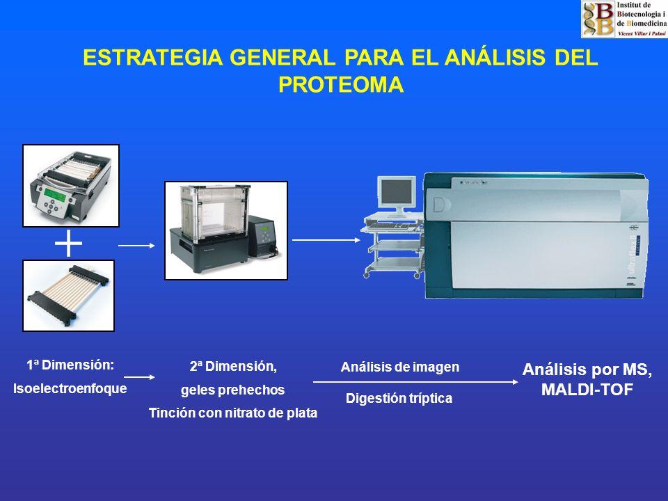 ESTRATEGIA GENERAL PARA EL ANÁLISIS DEL PROTEOMA 1ª Dimensión: Isoelectroenfoque 2ª Dimensión, geles prehechos Tinción con nitrato de plata Análisis p