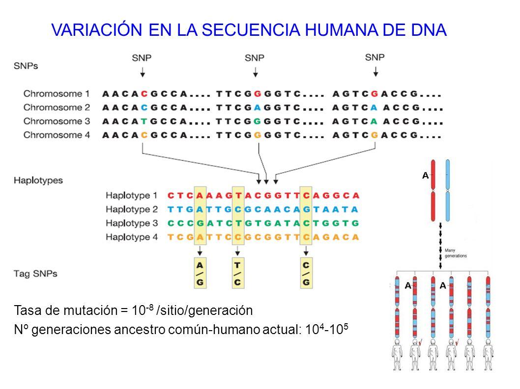 Tasa de mutación = 10 -8 /sitio/generación Nº generaciones ancestro común-humano actual: 10 4 -10 5