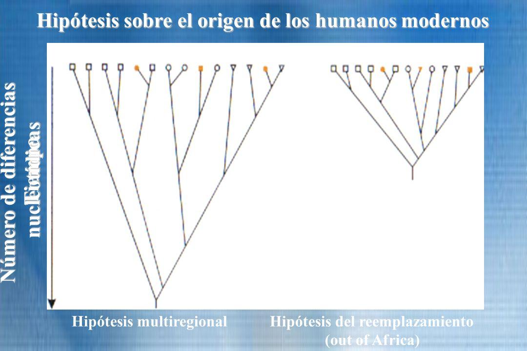 Tiempo Número de diferencias nucleotídicas nucleotídicas Hipótesis sobre el origen de los humanos modernos Hipótesis multiregional Hipótesis del reemp