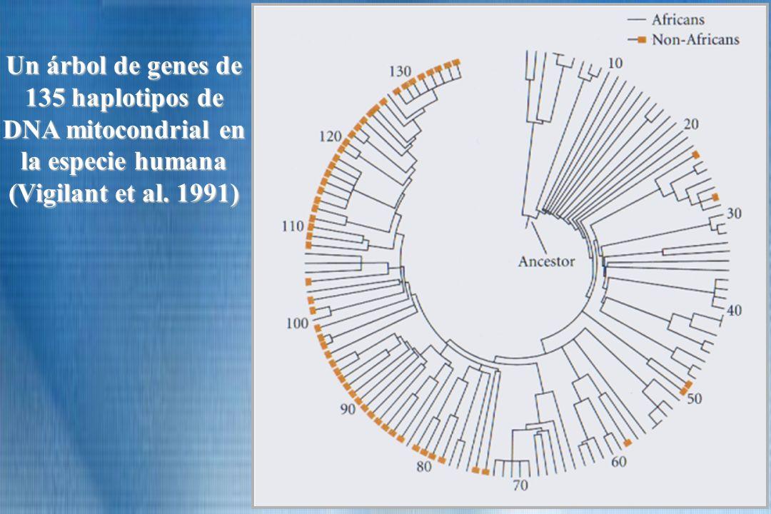 Un árbol de genes de 135 haplotipos de DNA mitocondrial en la especie humana (Vigilant et al. 1991)