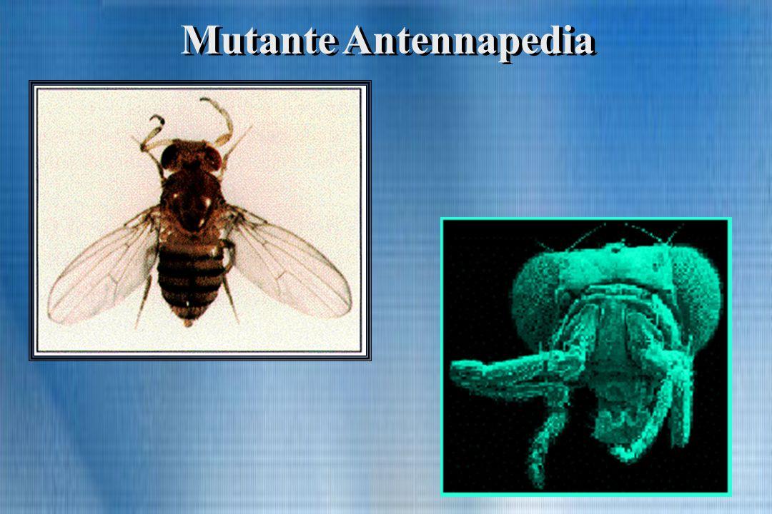 Mutante Antennapedia