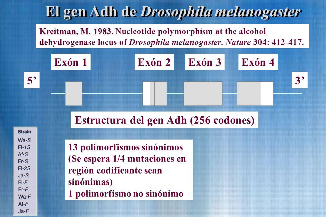 Estructura del gen Adh (256 codones) Exón 1Exón 2Exón 3Exón 4 3 5 El gen Adh de Drosophila melanogaster Kreitman, M. 1983. Kreitman, M. 1983. Nucleoti