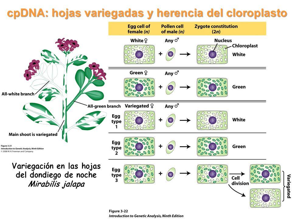 cpDNA: hojas variegadas y herencia del cloroplasto Variegación en las hojas del dondiego de noche Mirabilis jalapa 11