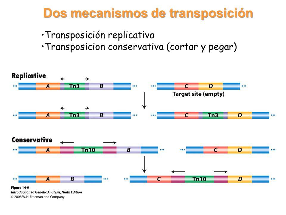 Transposición replicativa Transposicion conservativa (cortar y pegar) Dos mecanismos de transposición