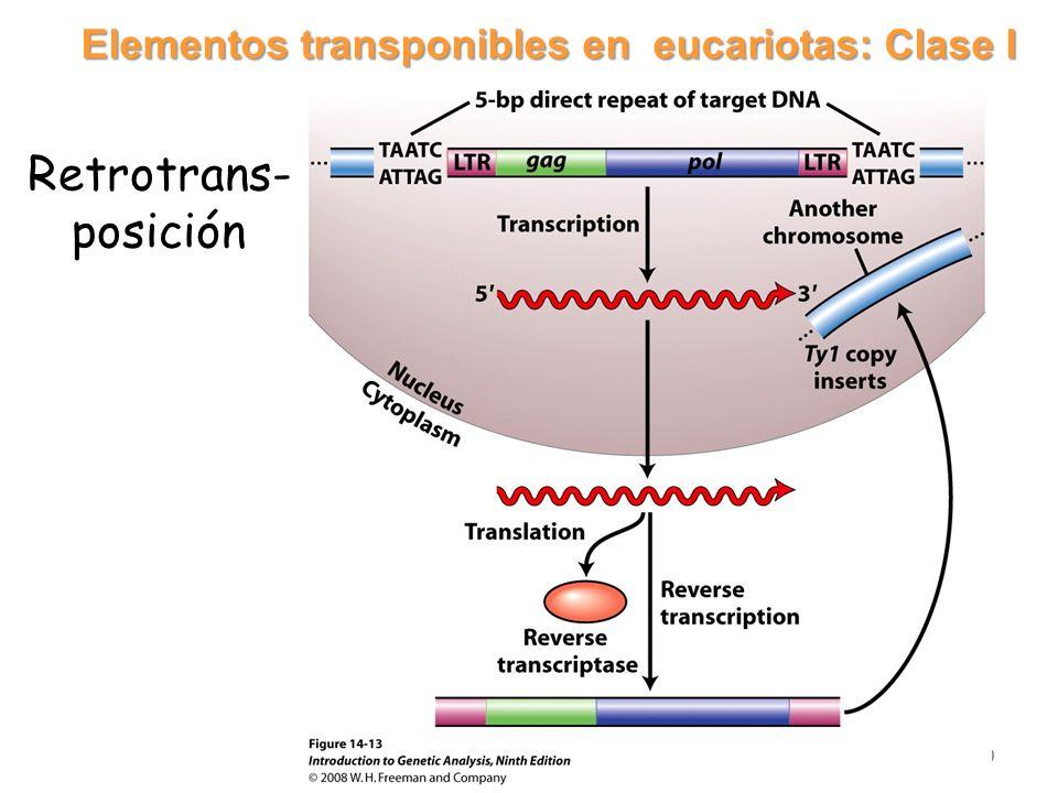 Elementos transponibles en eucariotas: Clase I 20 Retrotrans- posición