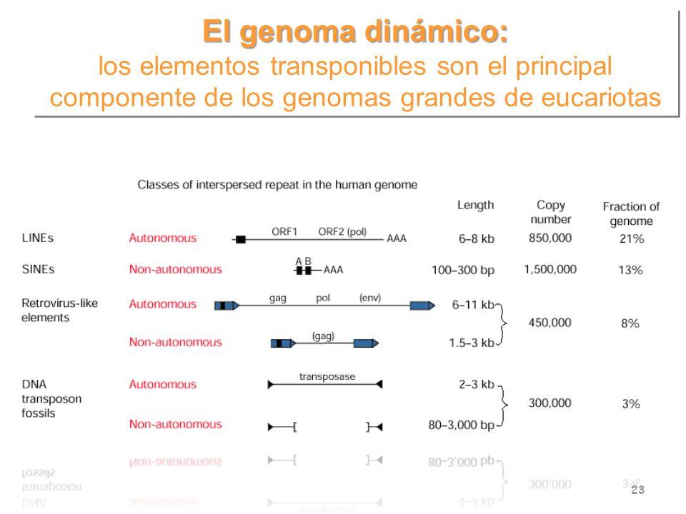 El genoma dinámico: los elementos transponibles son el principal componente de los genomas grandes de eucariotas El genoma dinámico: los elementos tra