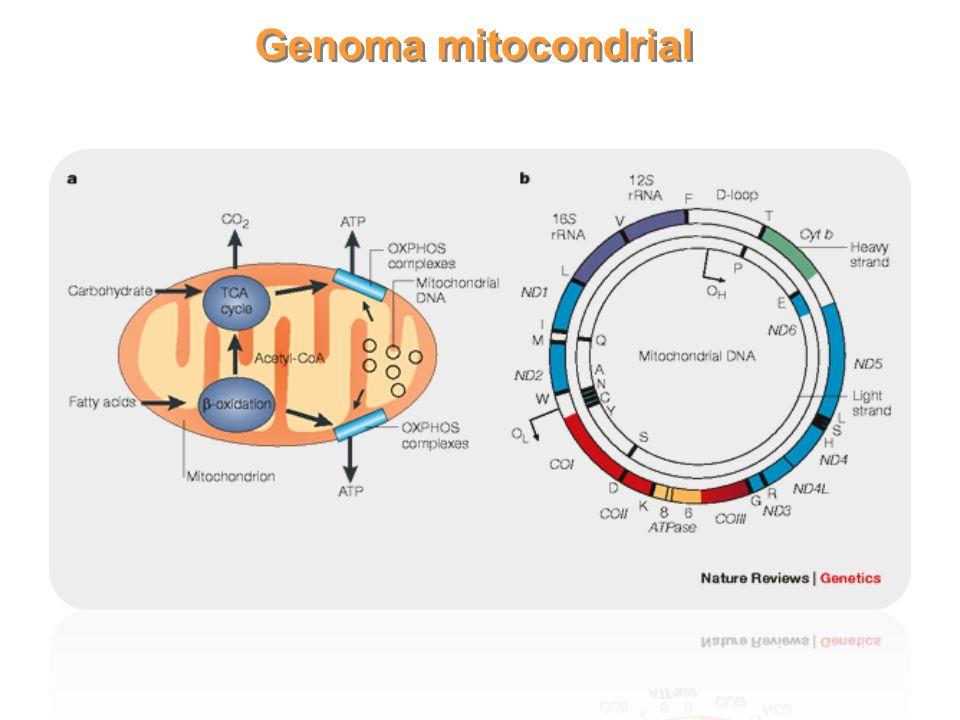 4 Tamaños de genomas mitocondriales