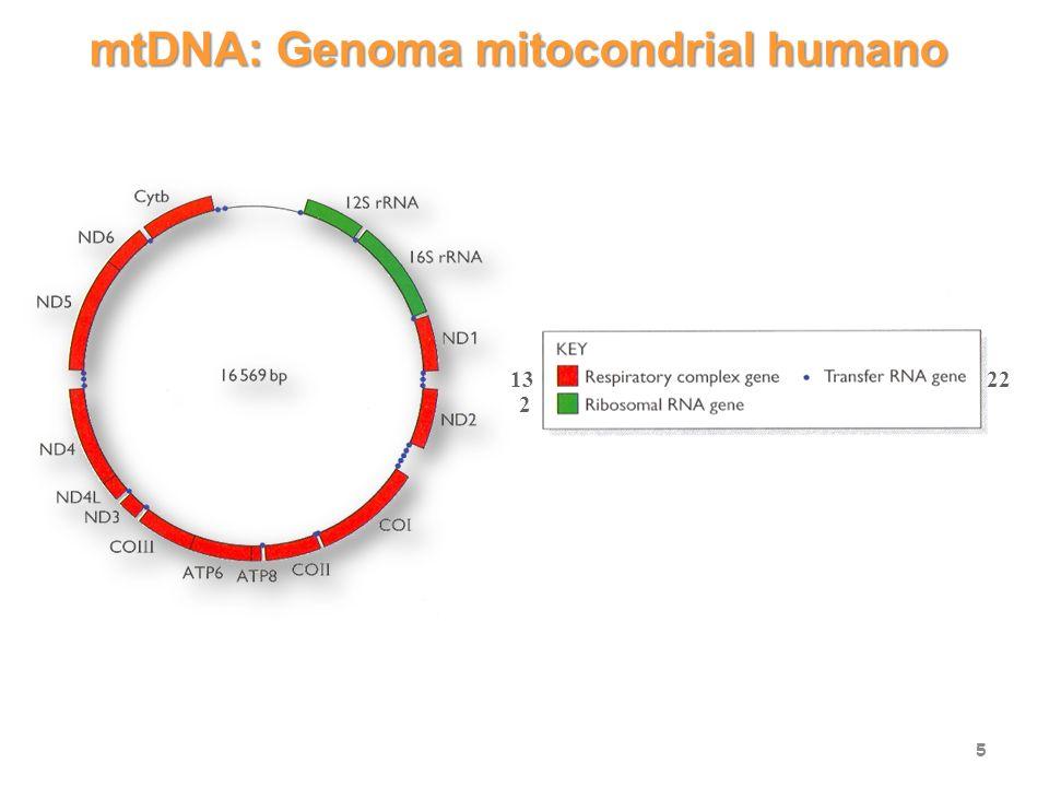 Sitios de mutación del mtDNA en enfermedades humanas 6