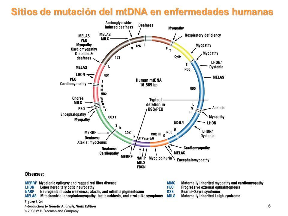 Herencia genoma mitocondrial: herencia materna y segregación aleatoria 7