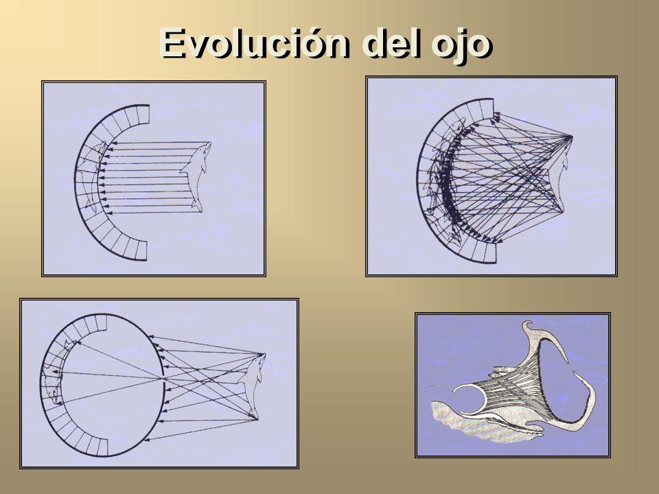 Evolución del ojo