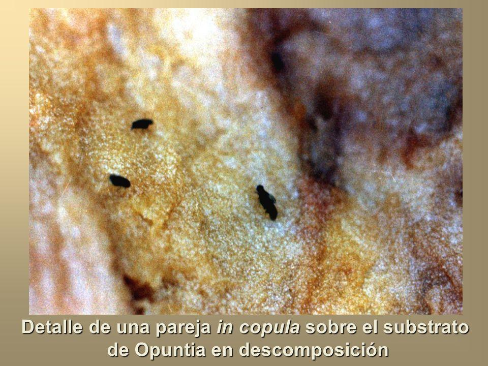Cladodio de Opuntia ficus-indica en descomposición