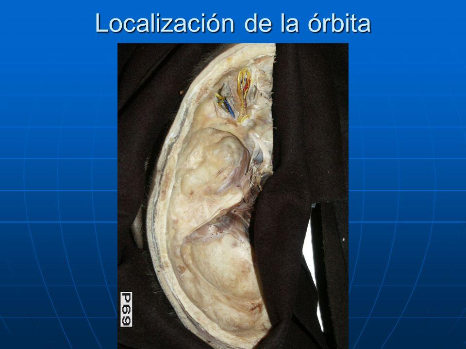 Plano superficial Nervio Frontal (V), dando los Nervios Supratroclear y Supraorbitario Nervio Frontal (V), dando los Nervios Supratroclear y Supraorbitario Nervio Troclear (IV) Nervio Troclear (IV) Nervio Nasociliar Nervio Nasociliar Nervio Lagrimal Nervio Lagrimal Prolongación de la A.