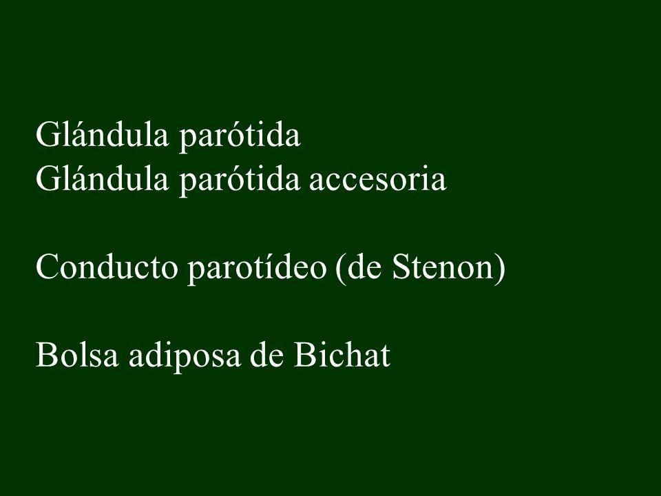 Glándula parótida Glándula parótida accesoria Conducto parotídeo (de Stenon) Bolsa adiposa de Bichat