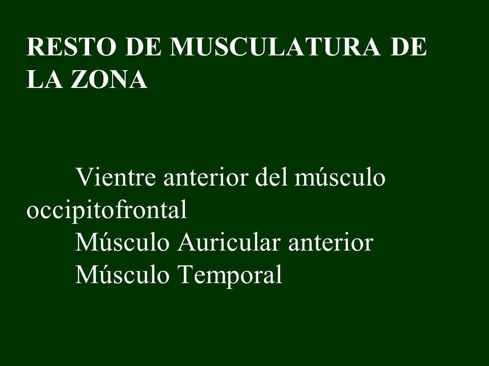 RESTO DE MUSCULATURA DE LA ZONA Vientre anterior del músculo occipitofrontal Músculo Auricular anterior Músculo Temporal