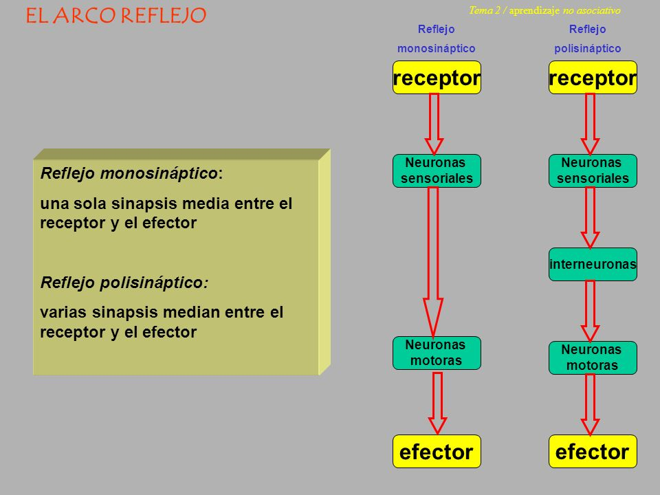 receptor Neuronas sensoriales Neuronas motoras efector EL ARCO REFLEJO Reflejo monosináptico: una sola sinapsis media entre el receptor y el efector R