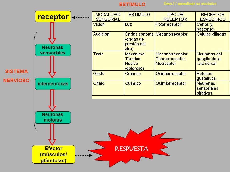 receptor Neuronas sensoriales Neuronas motoras Efector (músculos/ glándulas) interneuronas ESTÍMULO SISTEMA NERVIOSO RESPUESTA Tema 2 / aprendizaje no