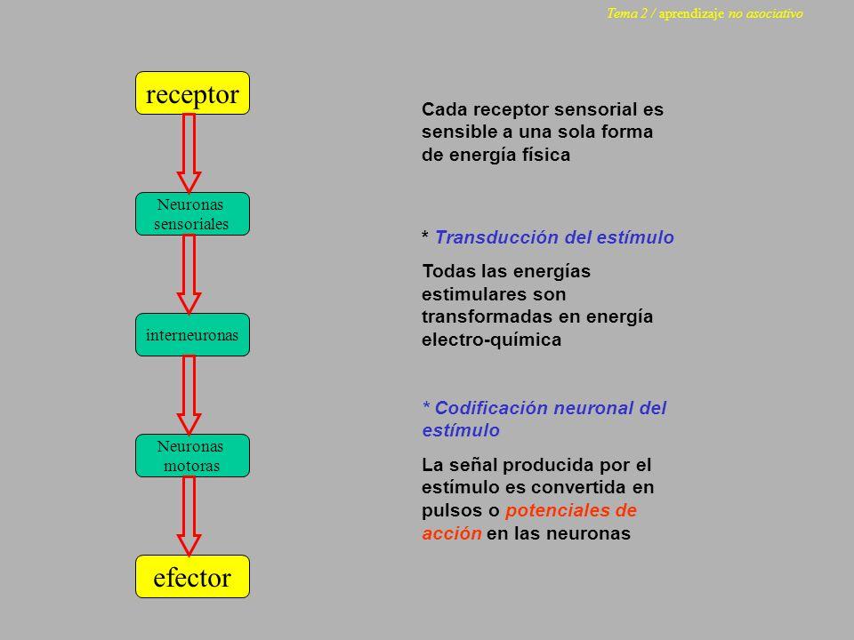 receptor Neuronas sensoriales Neuronas motoras efector interneuronas Cada receptor sensorial es sensible a una sola forma de energía física * Transduc