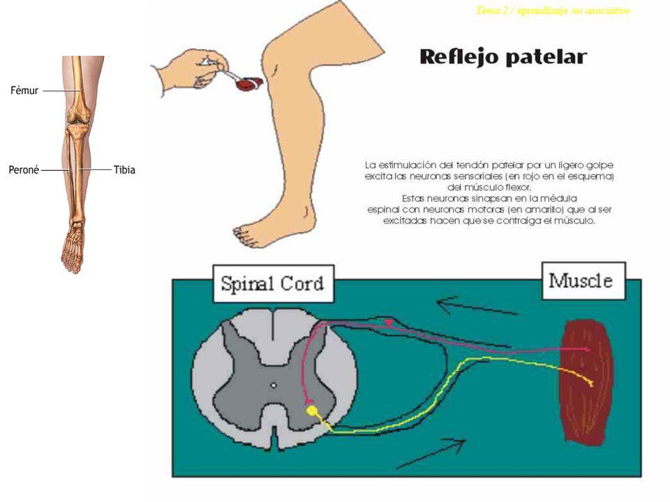 receptor Neuronas sensoriales Neuronas motoras efector interneuronas Sensores del tendón patelar Neuronas sensoriales Neuronas motoras Músculo flexor Médula espinal El reflejo patelar es un reflejo monosináptico.