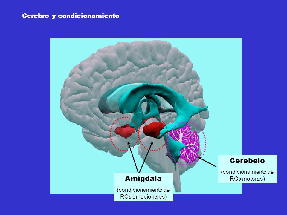Amígdala (condicionamiento de RCs emocionales) Cerebelo (condicionamiento de RCs motoras) Cerebro y condicionamiento