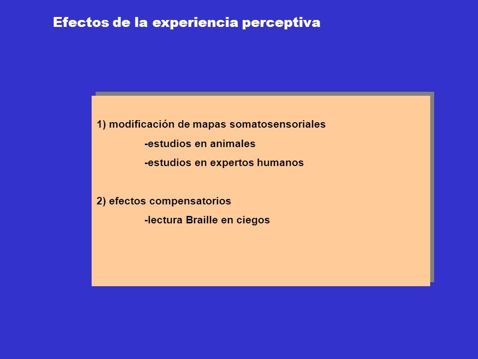 Efectos de la experiencia perceptiva 1) modificación de mapas somatosensoriales -estudios en animales -estudios en expertos humanos 2) efectos compens