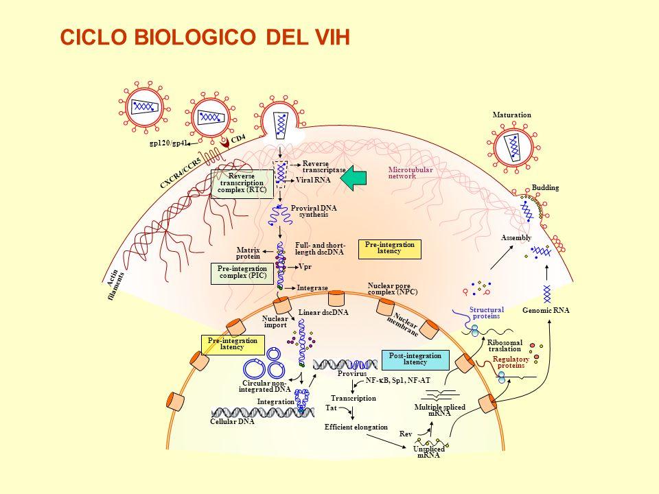 CD4 1.Virologia Factores celulares Nuevos mecanismos de entrada Latencia Reactivación 2.Inmunologia Celulas T reguladoras Vacunas 3.Casos especiales I.P.