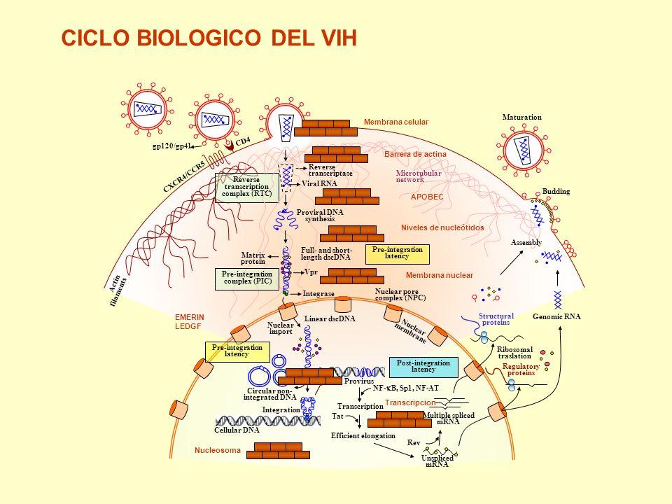 Membrana celular Barrera de actina APOBEC Niveles de nucleótidos Membrana nuclear Transcripcion Nucleosoma EMERIN LEDGF