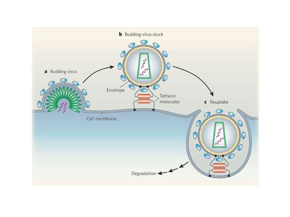 ESTRATEGIAS DE MODIFICACIÓN DE LA ENVUELTA PARA INCREMENTAR SU INMUNOGENICIDAD o Inmunizar con envueltas triméricas o Estabilizar la envuelta mediante la unión a otras proteínas: IgG o Direccionar la envuelta fusionandola a otras proteínas: CD40 o Acoplarla a nanopartículas que la dirijan a las células dendríticas.