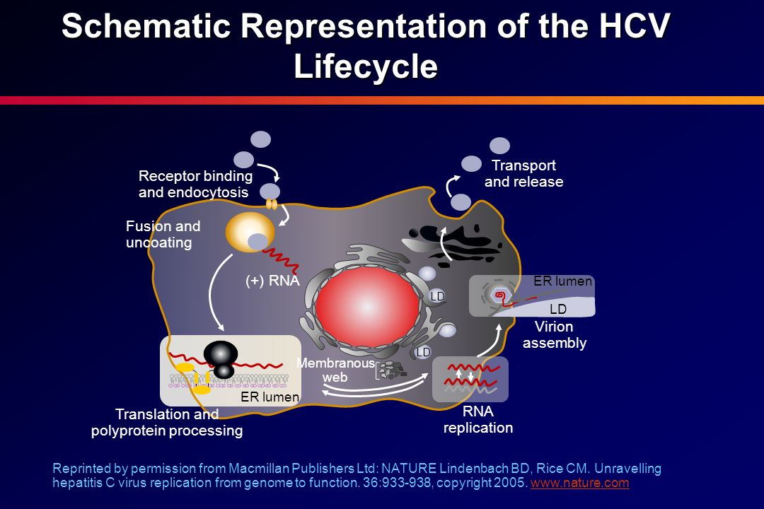 Schematic Representation of the HCV Lifecycle Reprinted by permission from Macmillan Publishers Ltd: NATURE Lindenbach BD, Rice CM. Unravelling hepati