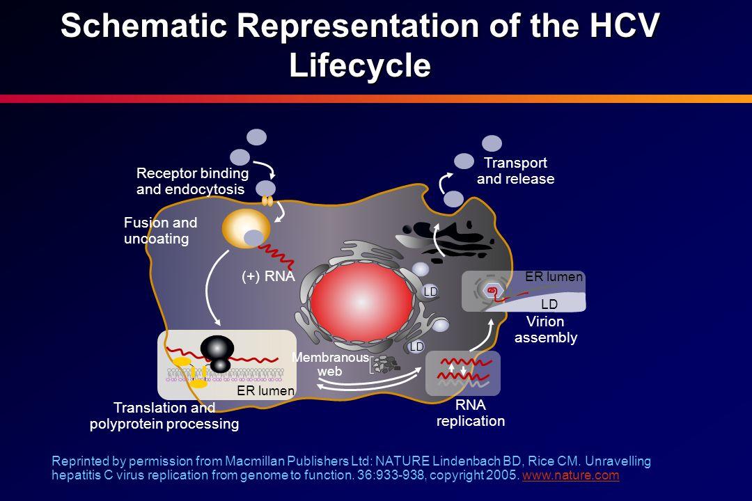 Incidencia de resistencias con el uso de los inhibidores de la proteasa en monoterapia 1 2 3 5 6 7 4 Baseline EOD 14 days Follow-up 7–10 days post-dosing Long-term follow-up 3–7 months post-dosing Median log HCV RNA VX-950 dosing periodPost-dosing IC 50 fold change WT 155 36 WT 155 54 36/155 156 155 36 155 54 36/155 WT Long-term follow-up V36 M/A/L R155 K/T/S/MT54A36/155A156V/T36/156 1 1 4 4 7 7 12 46 466 781 WT Sarrazin C, et al.