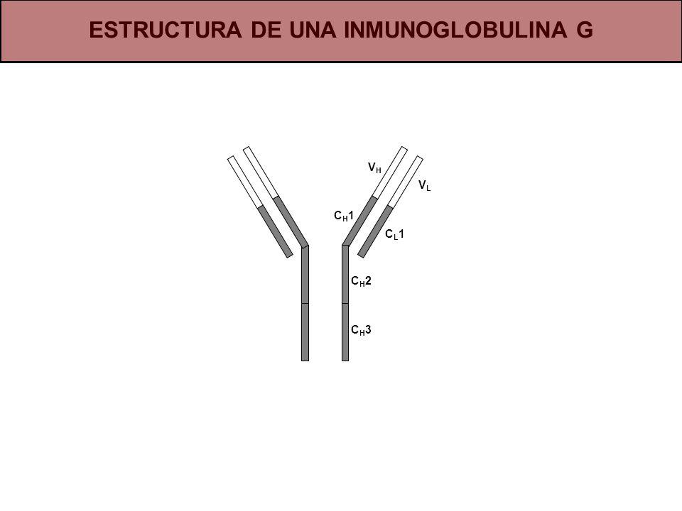 CH3CH3 CH2CH2 CH1CH1 VHVH CL1CL1 VLVL ESTRUCTURA DE UNA INMUNOGLOBULINA G