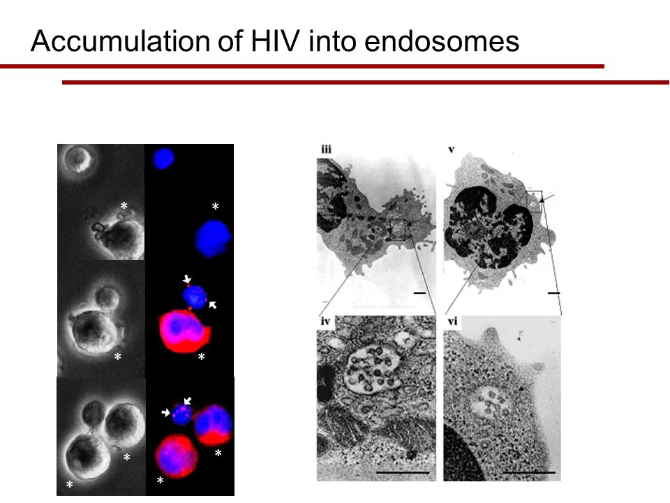 * * * * * ** * Accumulation of HIV into endosomes