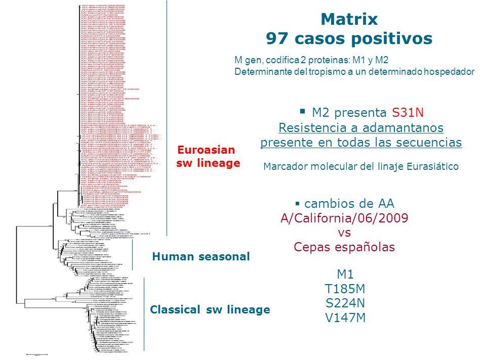 M2 presenta S31N Resistencia a adamantanos presente en todas las secuencias Marcador molecular del linaje Eurasiático M1 T185M S224N V147M M Matrix 97