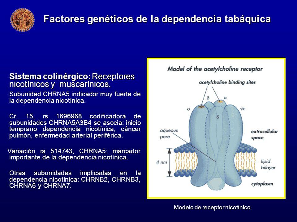 Sistema colinérgico : Receptores nicotínicos y muscarínicos. Subunidad CHRNA5 indicador muy fuerte de la dependencia nicotínica. Cr. 15, rs 1696968 co