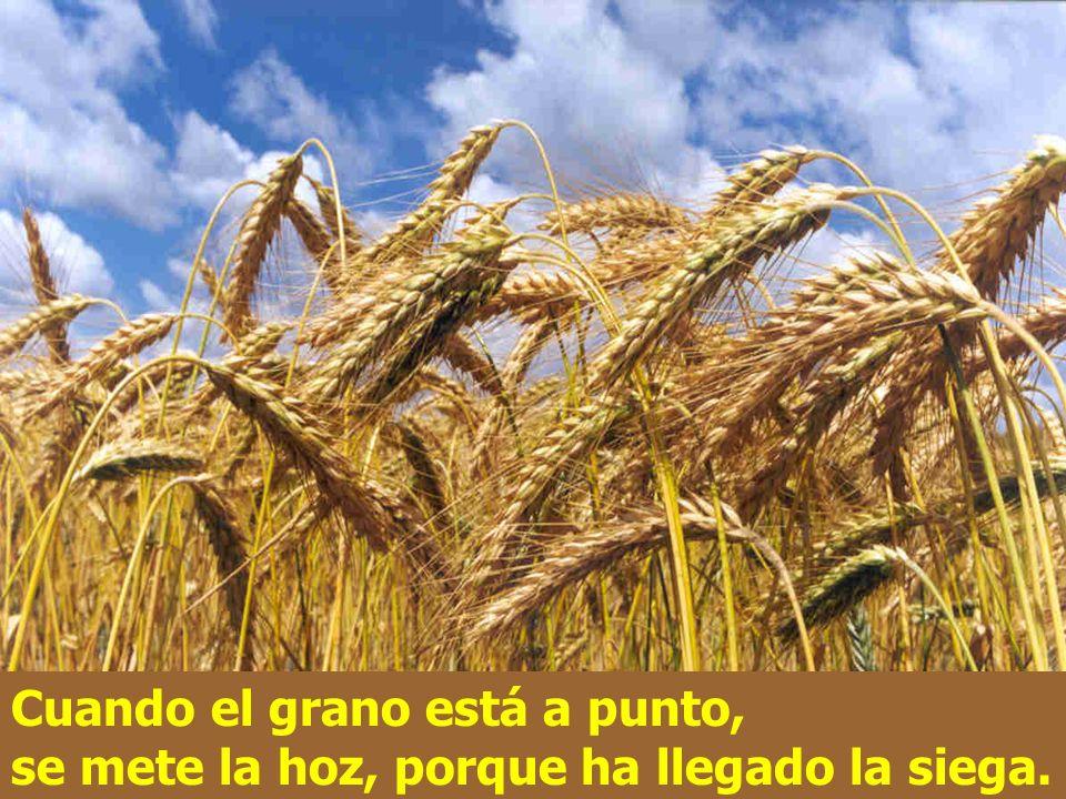 La tierra va produciendo la cosecha ella sola: primero los tallos, luego la espiga, después el grano.
