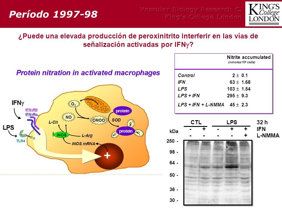 ¿Puede una elevada producción de peroxinitrito interferir en las vías de señalización activadas por IFN ? Período 1997-98 CTLLPS32 h -+-++IFN ----+L-N