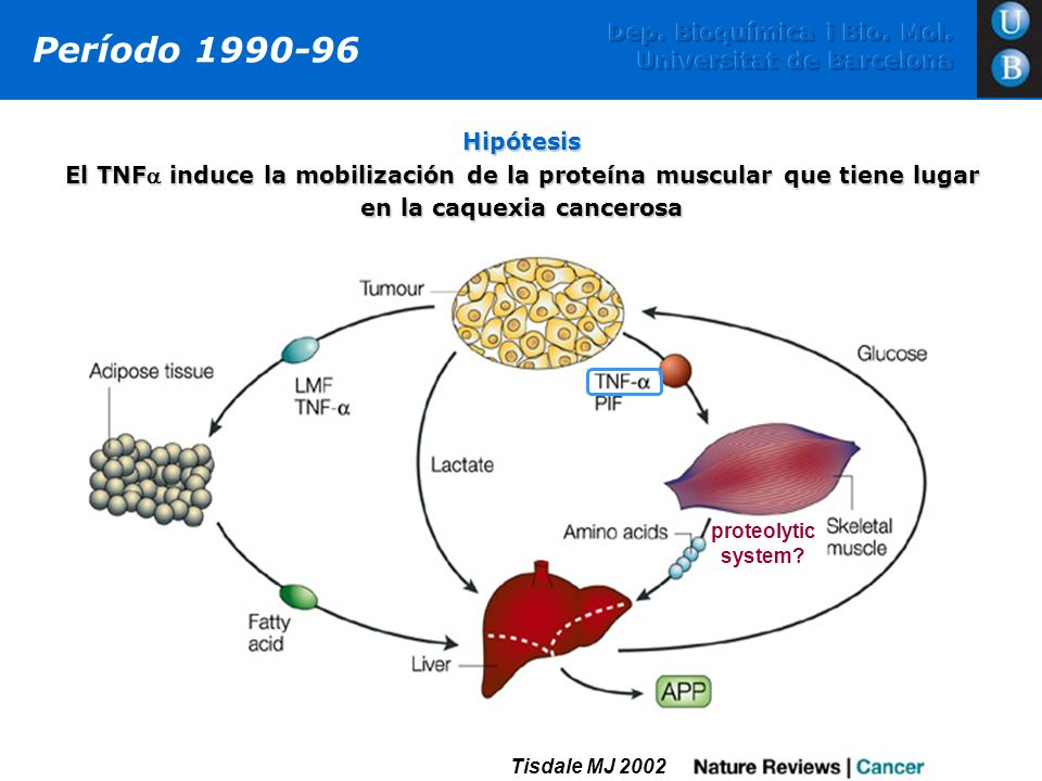 Dep. Bioquímica i Bio. Mol. Universitat de Barcelona Período 1990-96 Hipótesis El TNF induce la mobilización de la proteína muscular que tiene lugar e