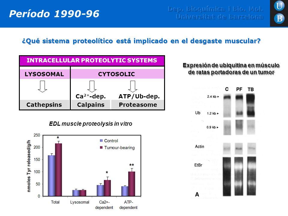 ¿Qué sistema proteolítico está implicado en el desgaste muscular? Período 1990-96 INTRACELLULAR PROTEOLYTIC SYSTEMS LYSOSOMAL CYTOSOLIC Cathepsins Ca