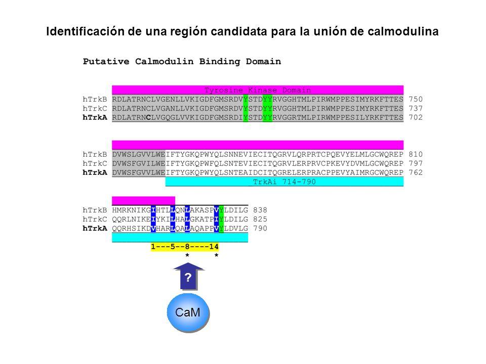 ? ? CaM Identificación de una región candidata para la unión de calmodulina