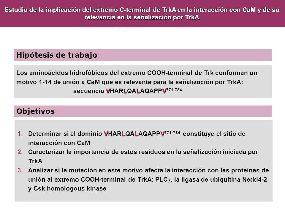 Hipótesis de trabajo Objetivos VLLV 1.Determinar si el dominio VHARLQALAQAPPV 771-784 constituye el sitio de interacción con CaM 2.Caracterizar la imp