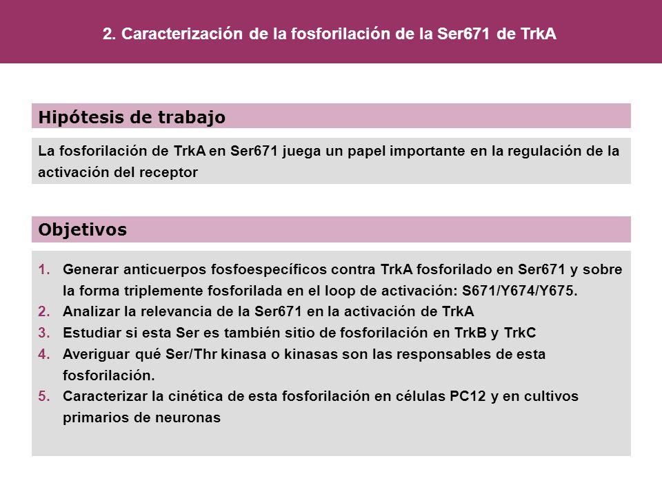 Hipótesis de trabajo Objetivos La fosforilación de TrkA en Ser671 juega un papel importante en la regulación de la activación del receptor 1.Generar a