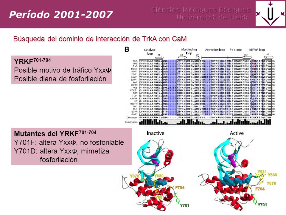 YRKF 701-704 Posible motivo de tráfico Yxx (Jullien et al 2002) Posible diana de fosforilación Período 2001-2007 Búsqueda del dominio de interacción d