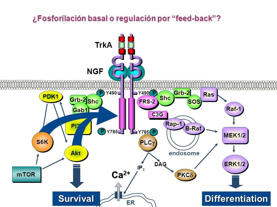 Y785 Shc PLC TrkA Y490 P NGF P P Y785 P SurvivalDifferentiation FRS-2 endosome Rap-1 DAG IP 3 B-Raf C3G PKC ER Ca 2+ Grb-2 SOS Raf-1 Shc Grb-2 Gab1 PI