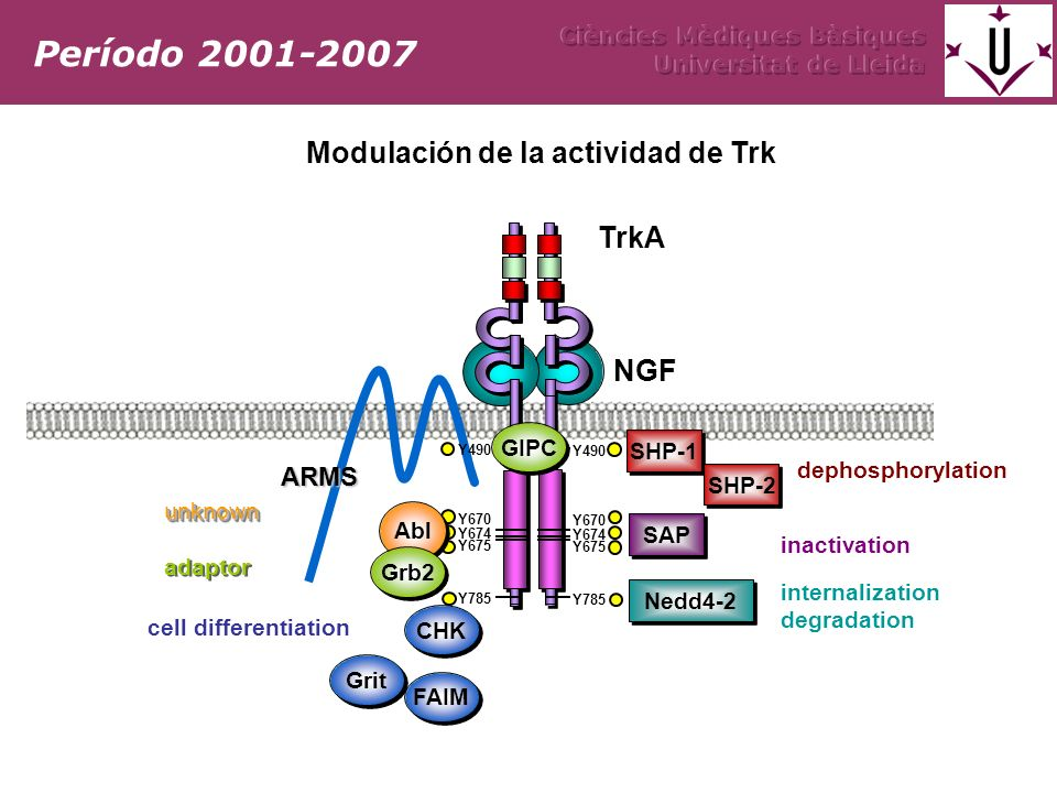 TrkA Y490 NGF Y785 Y670 Y674 Y675 Y490 Y785 Y670 Y674 Y675 CHK Abl ARMS SAP SHP-1 SHP-2 FAIM Grit Nedd4-2 Grb2 GIPC dephosphorylation inactivation internalization degradation cell differentiation adaptor unknownunknown Período 2001-2007 Modulación de la actividad de Trk